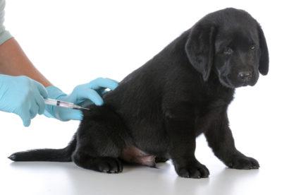 犬のワクチン注射